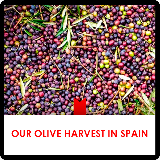 17 febrero: Our olive harvest in Spain